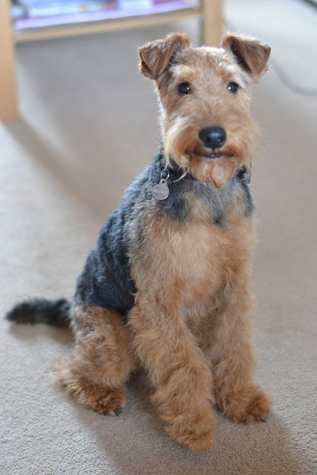 Welsh Terrier Bolhaus Welsh Terriers